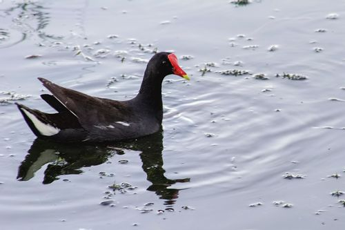 common-gallinule_0718-641.jpg