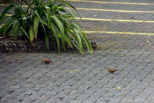 common-ground-dove_6109-64.jpg