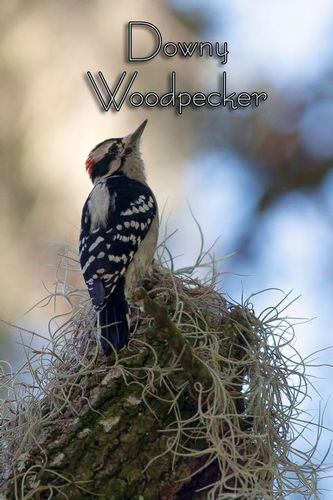 downy-woodpecker_1451txt-46.jpg