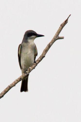 eastern-kingbird_3962-46.jpg