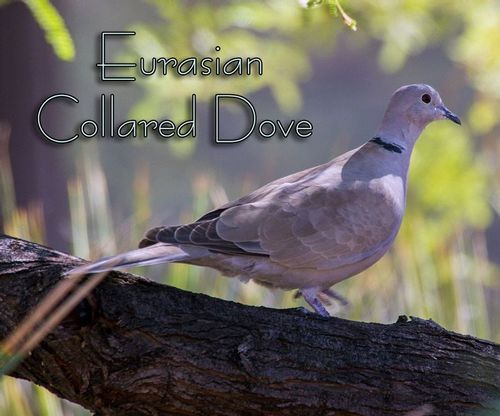 eurasian-collared-dove_7317TXT-64.jpg