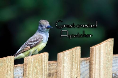 great-crested-flycatcher_2883txt-64.jpg