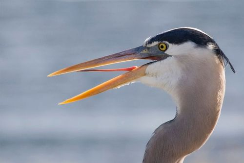 great_blue_heron_0561-6x4.jpg