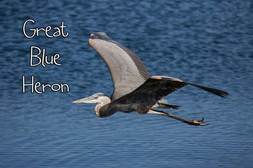 heron _flight_1685txt-64.jpg