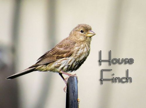 house-finch-female_4633txt.jpg