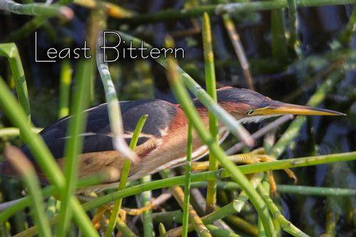 least-bittern_3230txt-64.jpg