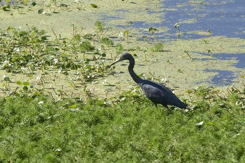 little-blue-heron_0065-641.jpg