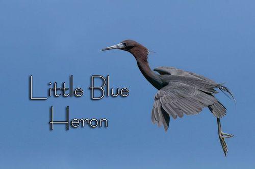 little_blue_0675txt-64.jpg