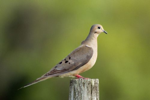 mourning-dove_1975-641.jpg