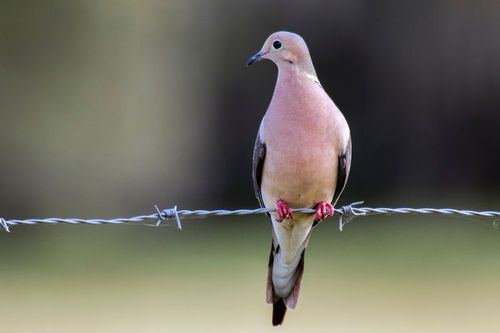 mourning-dove_1977-64.jpg