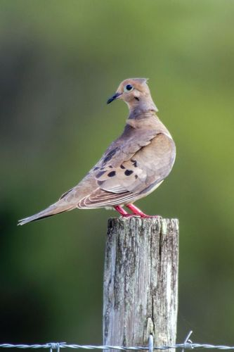 mourning-dove_1980-46.jpg