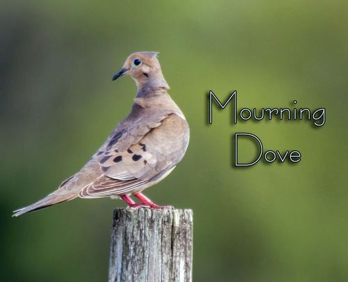 mourning-dove_1980txt-64.jpg