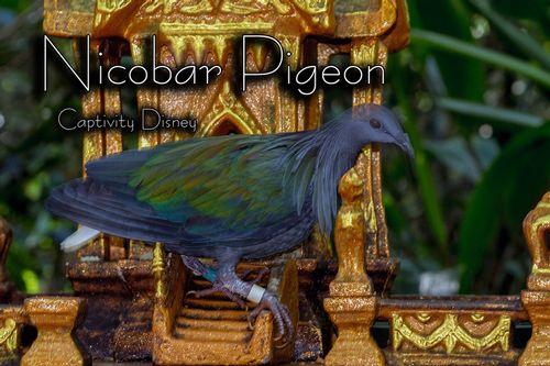 nicobar-pigeon_1815txt-64.jpg