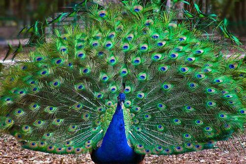 peacock_0381-6x41.jpg