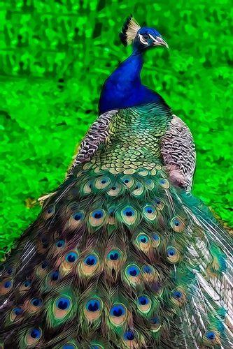 peacock_2564tpza-46.jpg