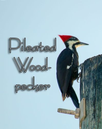 pileated-woodpecker-telephone-pole_9081txt.jpg