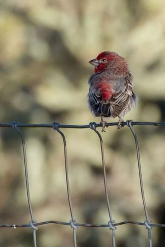 purple-finch_3203-46.jpg