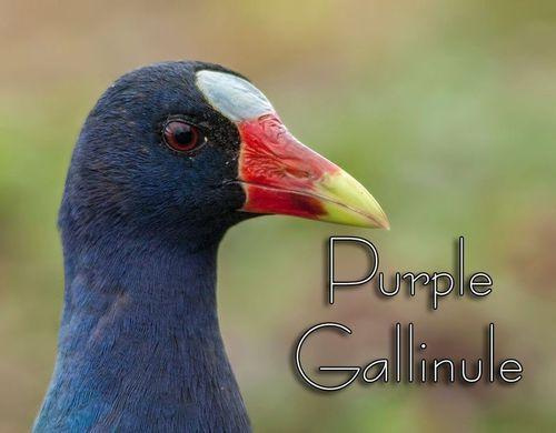 purple-gallinule_0118-txt.jpg