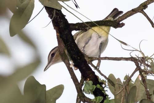 red-eyed-vireo_5966-64.jpg