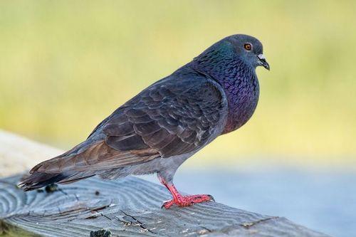 rock-pigeon_4806-641.jpg