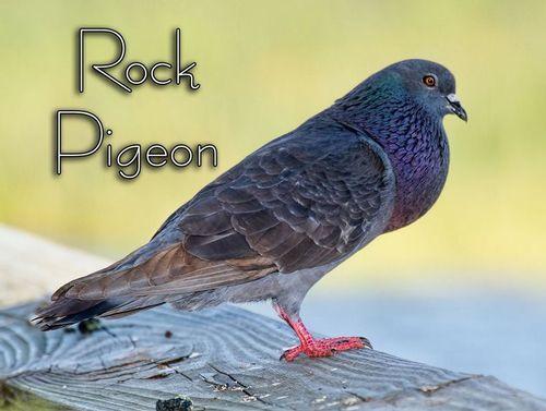 rock-pigeon_4806txt-64.jpg