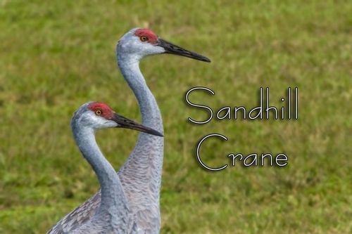 sandhill_crane_0043txt-64.jpg