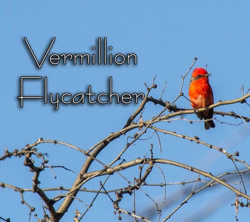 vermillion-flycatcher_3393txt-64.jpg