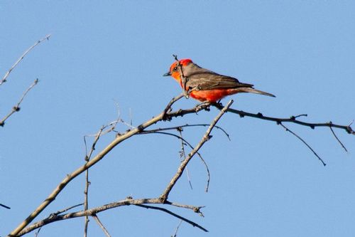 vermillion-flycatcher_3395-64.jpg