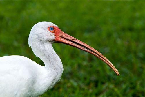 white-ibis_9272-64.jpg