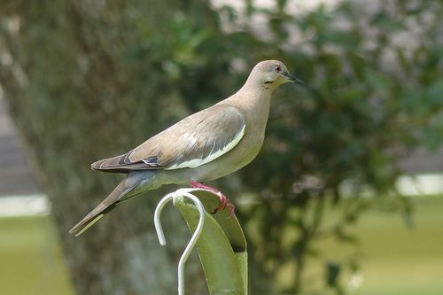 white-winged-dove_0123-64.jpg