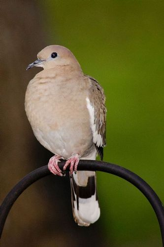 white-winged-dove_0924-4x6.jpg