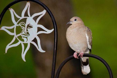 white-winged-dove_0924-6x4.jpg