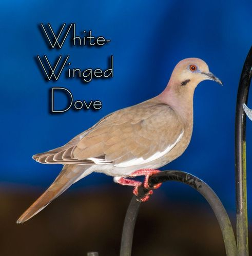white-winged-dove_3150txt-64.jpg