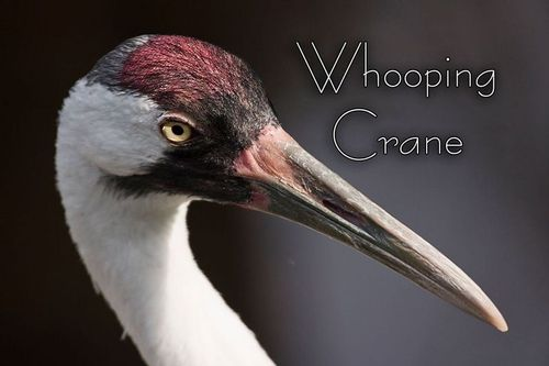 whooping_crane_9622txt-64.jpg