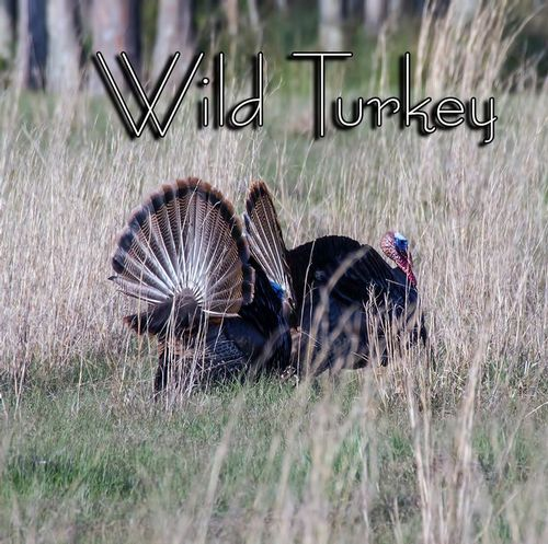 wild-turkey_2492txt.jpg
