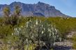 big-bend-cactus_4333-64.jpg