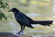 boat-tailed-grackle_3566-64.jpg