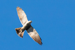 mississippi-kite_2723-64.jpg