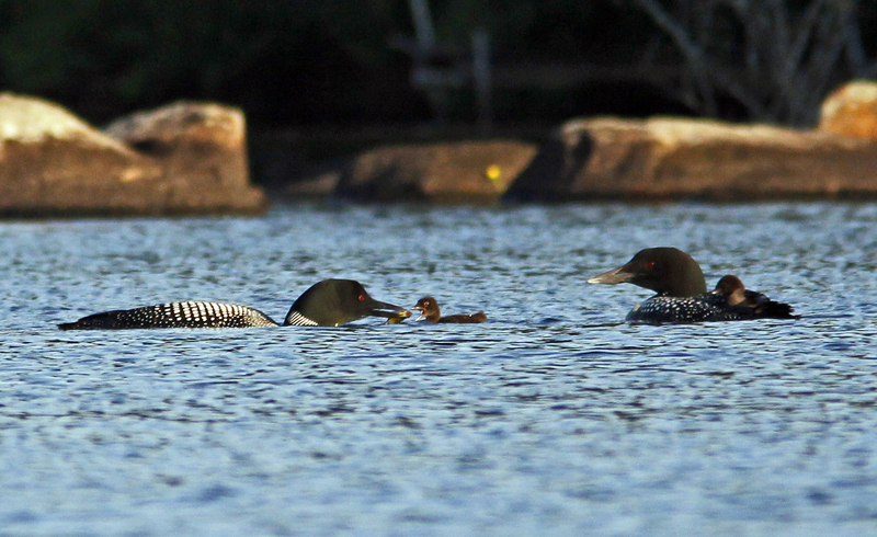_MG_3087ar.jpg :: Loon family - one adult feeding a chick while mate carries the other chick on its back!