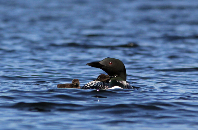 _MG_3454ar.jpg :: Proud loon parent with one chick on its back while the second swims alongside.