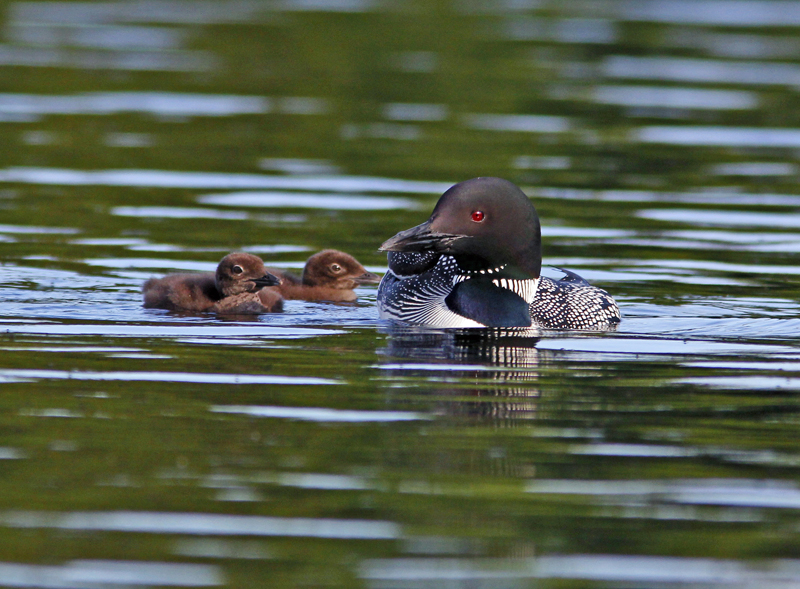 _MG_4503ar.jpg :: Common loon swimming with its two chicks.  Most people assume this is the mother and it may well be but the male also participates in the parenting process and neither size nor plumage can be used to distinguish male from female.