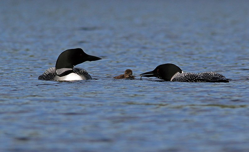 _MG_4716ar.jpg :: Loon parents feeding and caring for their week-old chick on a lake in the northern Adirondacks.