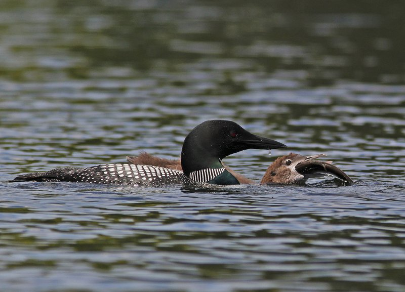 _MG_8088ar.jpg :: Adult loon watches its month-old chick swallow a large fish.