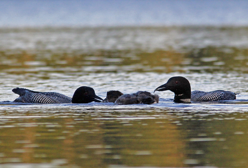 _MG_9204ar.jpg :: Attentive loon parents each bring a fish to the lucky chick!