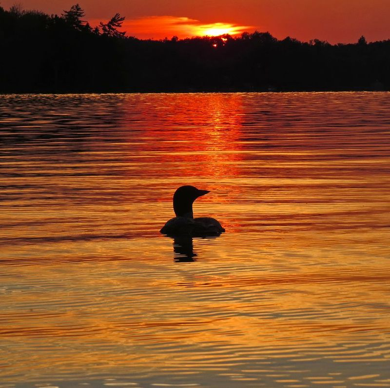 IMG_5535vr.jpg :: Common Loon swimming in the brilliant colors of an Adirondack sunset.  Photographed at Lake Ozonia, St. Lawrence County, NY.