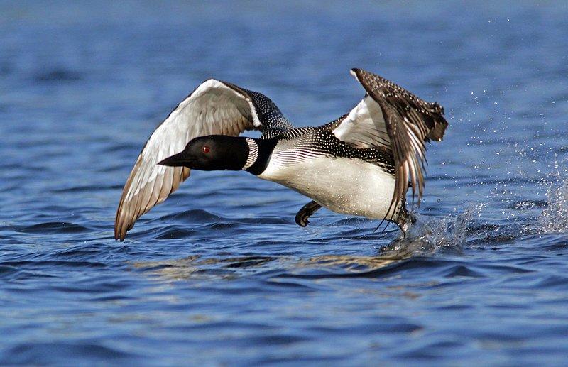 _MG_0020ar.jpg :: Loon taking to the air on a northern Adirondack lake.