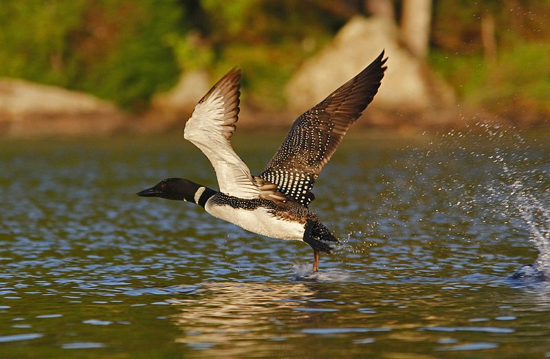 _MG_6387a1000.jpg :: Common Loon taking to the air from a Northern Adirondack lake.