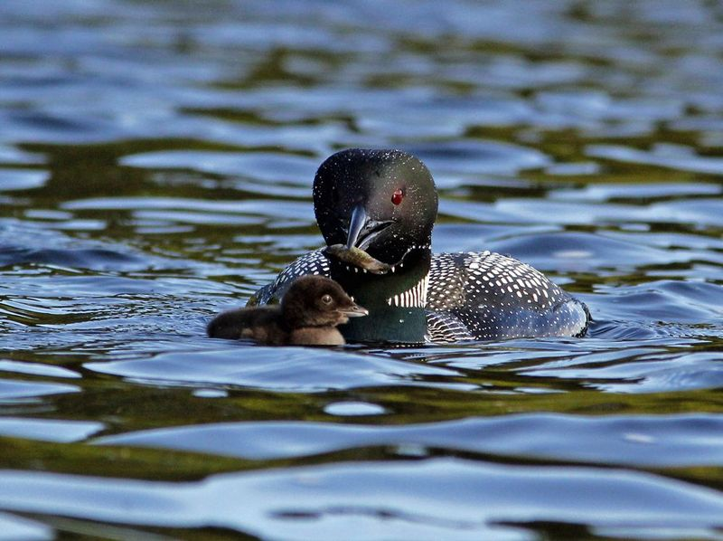 _MG_1445ar1.jpg :: Common Loon presenting food to day-old chick on northern Adirondack lake.