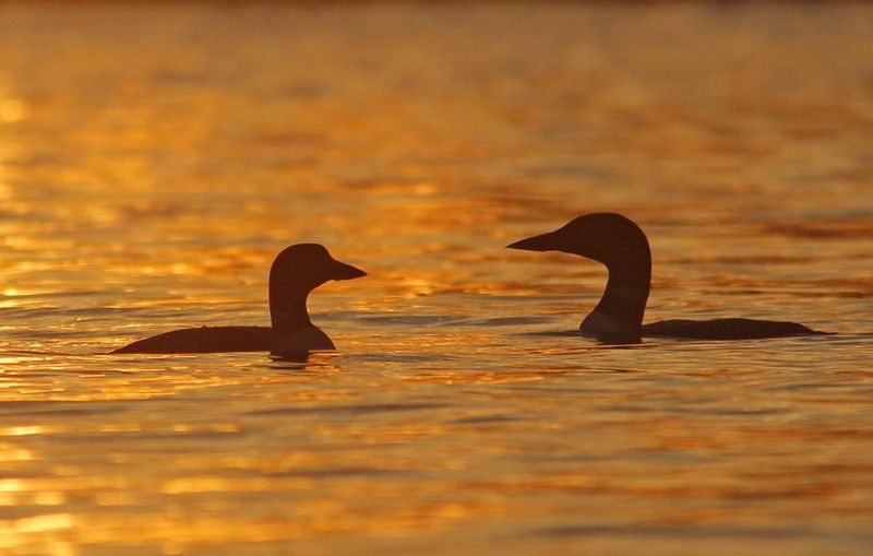 _MG_8221ar11.jpg :: Pair of common loons in waters reflecting the setting sun on a northern Adirondack lake.