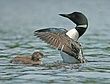 Loon Wing Flap with Chick.jpg